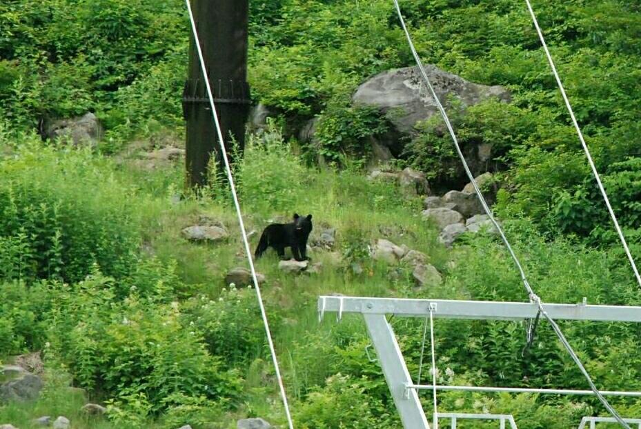 撮影中に遭遇した熊50m、志賀高原