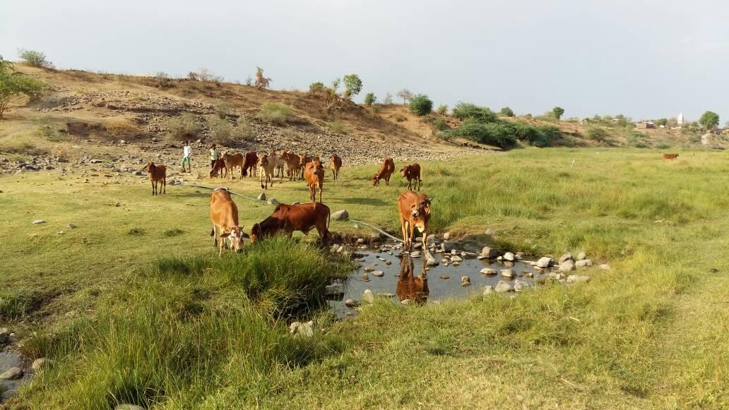 Die Kühe des Ashrams beim morgendlichen grasen am Fluß