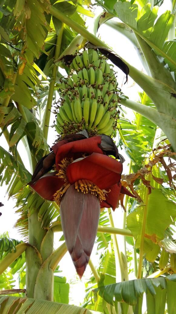 Bananen Babys