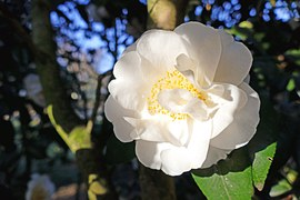 image collaborateur RM camellia hybride 'SPRING FESTIVAL'