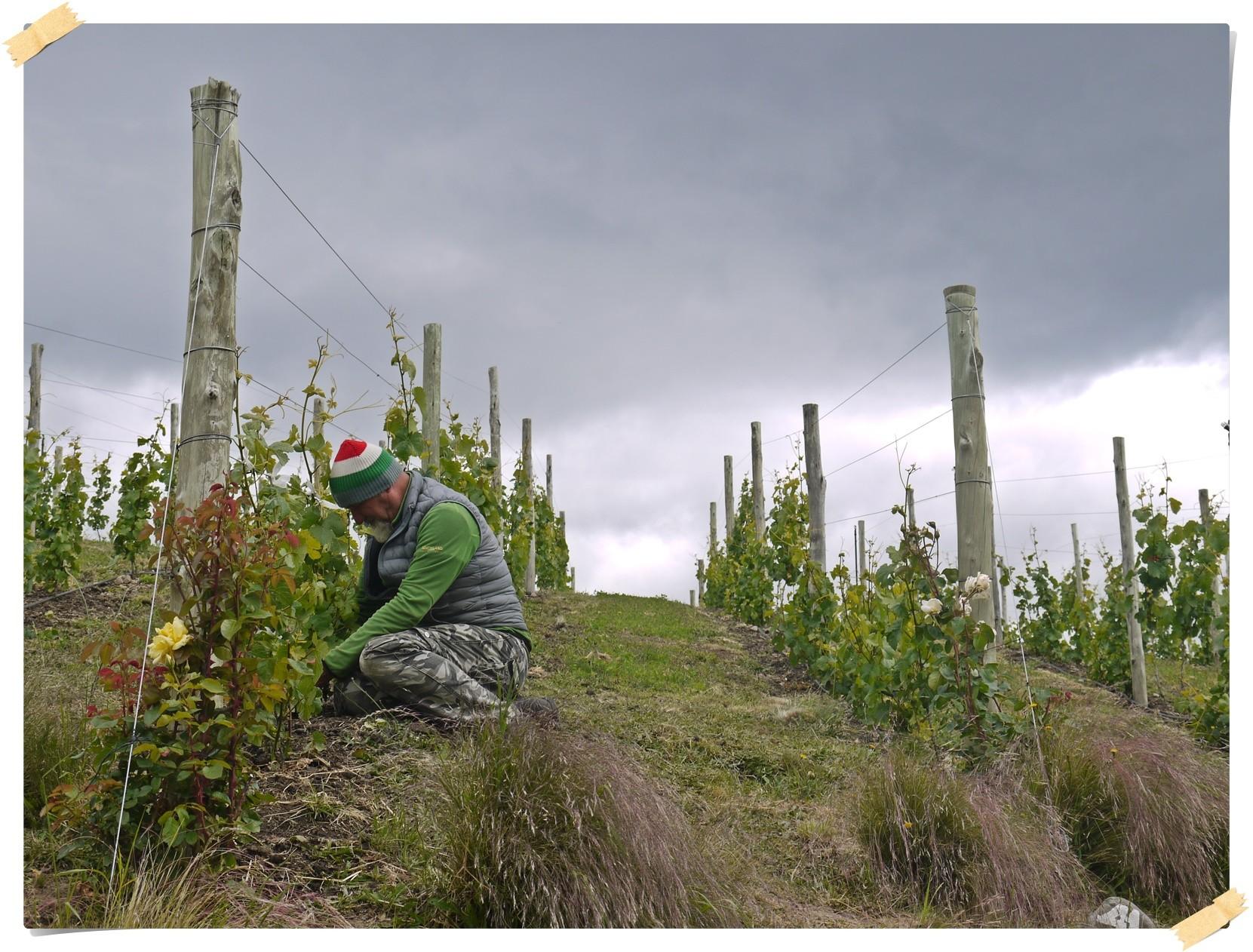 6500 Weinstöcke werden von uns aufgebunden