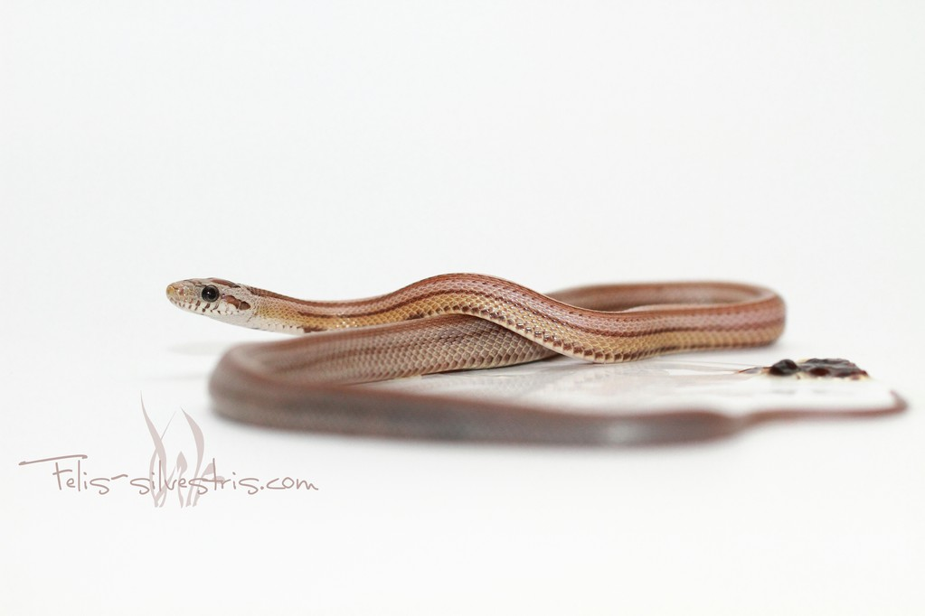 Kornnatter Pastel Striped