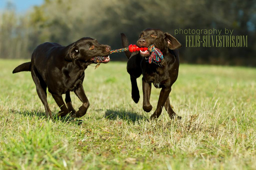 Choco Labradore beim Spielen