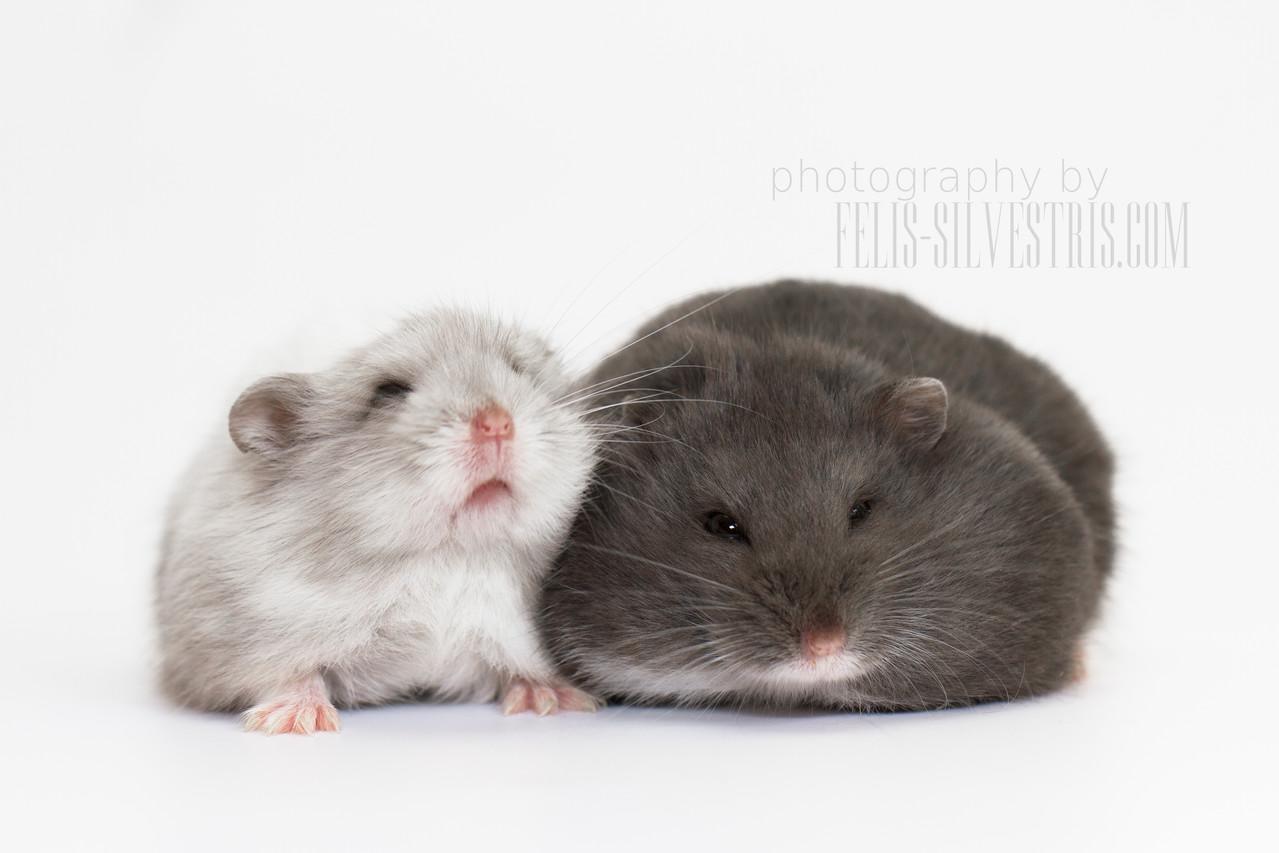 Zwerghamster Paar