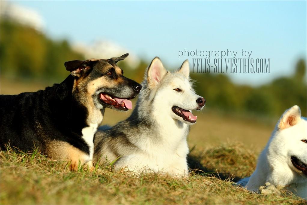 DSH und Husky
