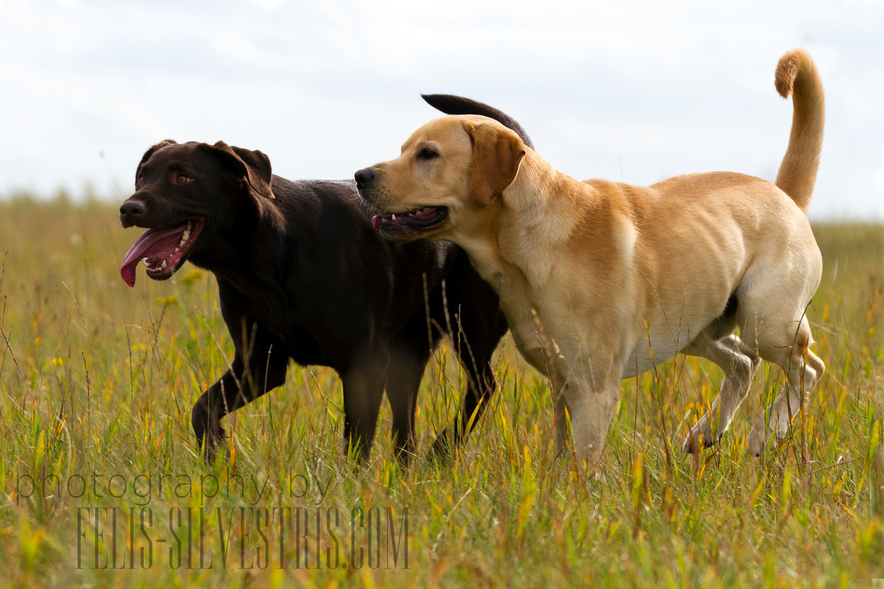Labrador Blond/choco