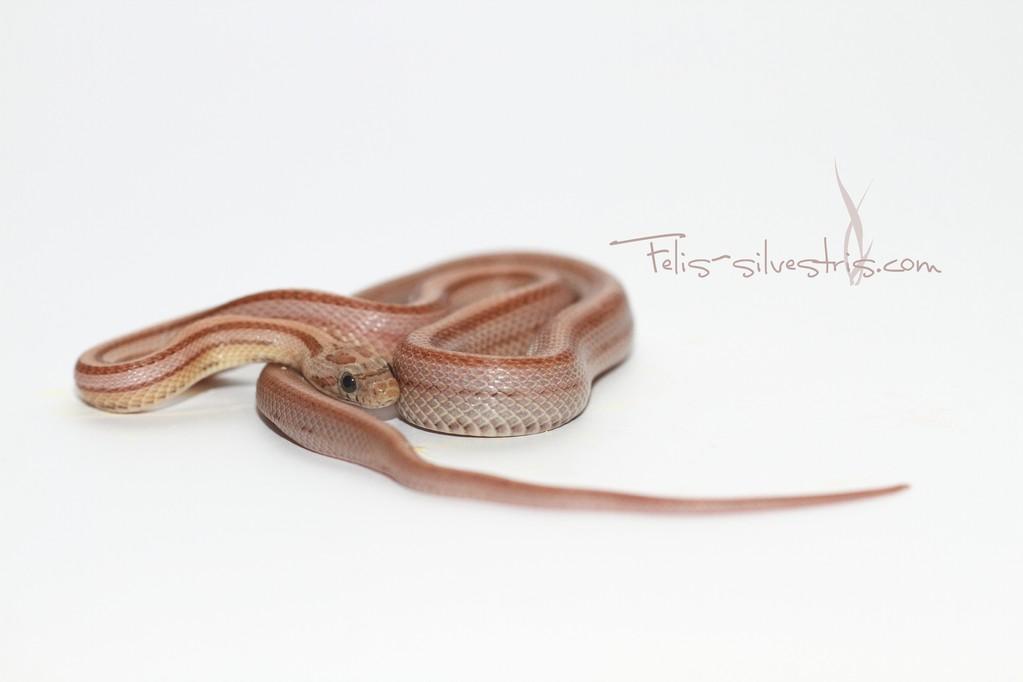 Kornnatter pastel striped