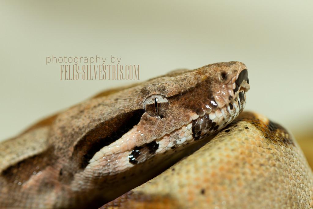 Portrait Boa constrictor