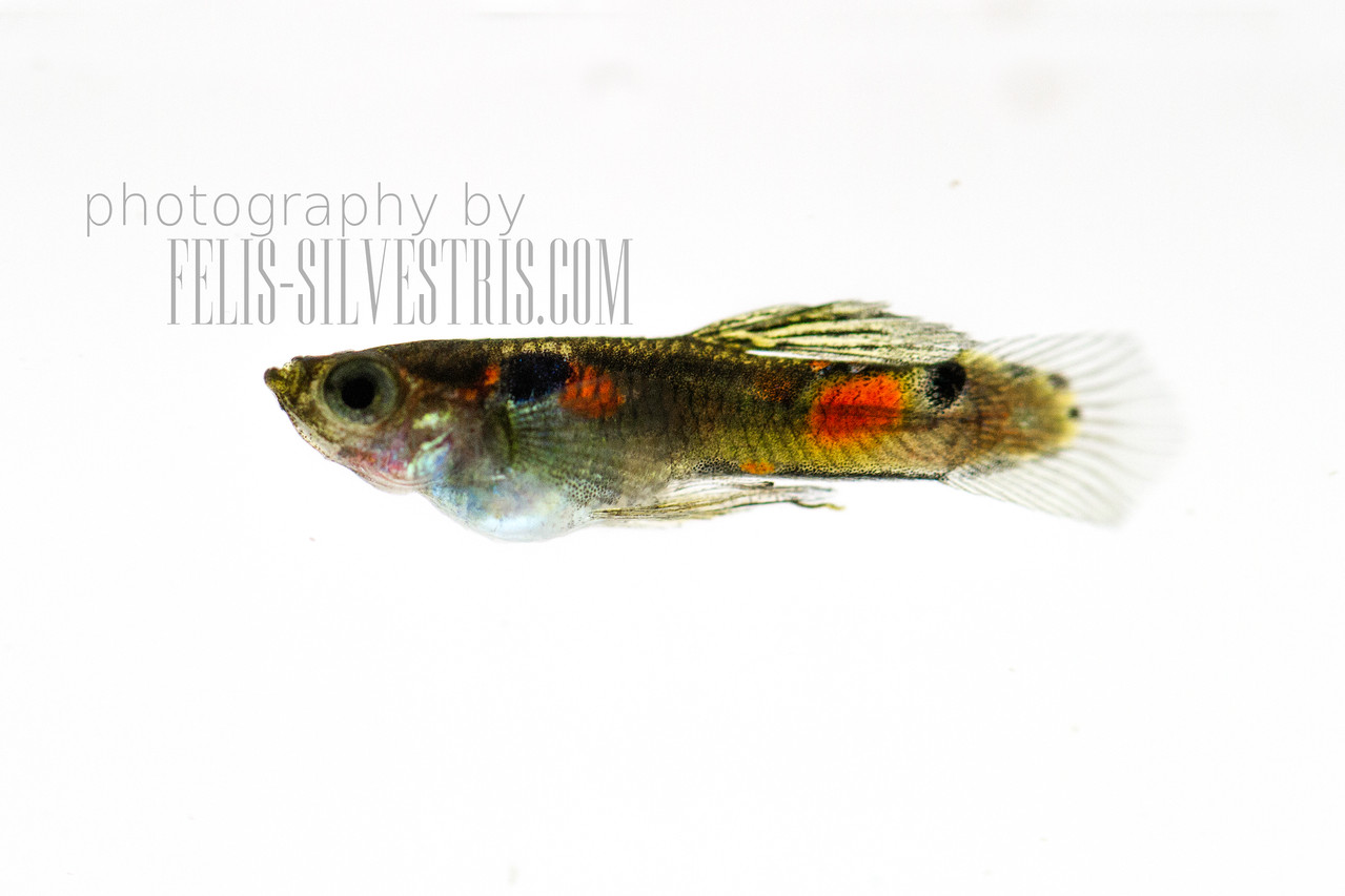 Guppy male