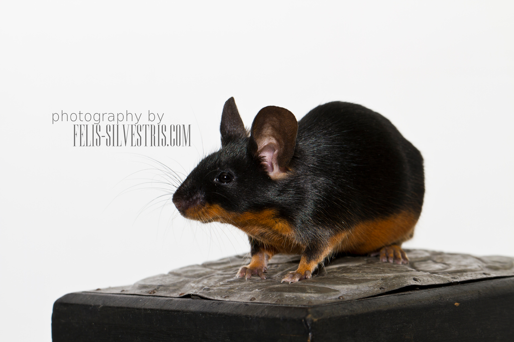 Black tan Farbmaus Showtyp
