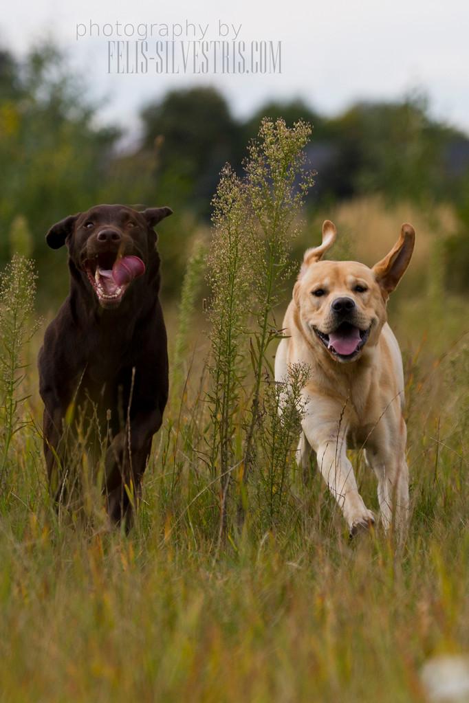 Labradorzuchtpaar