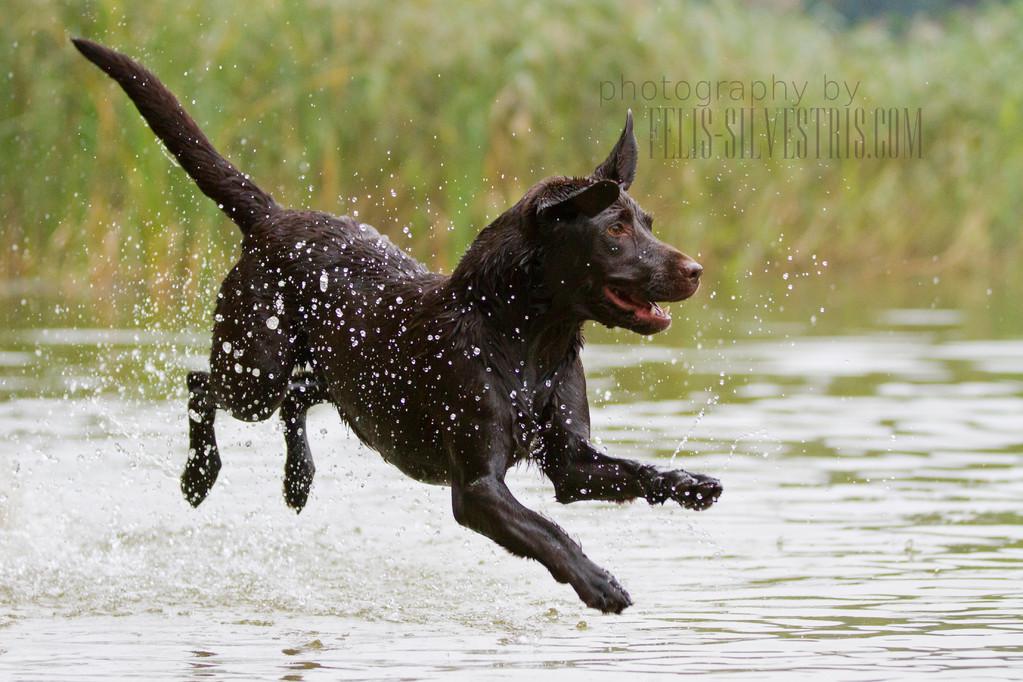 Choco Labrador Wasserareit