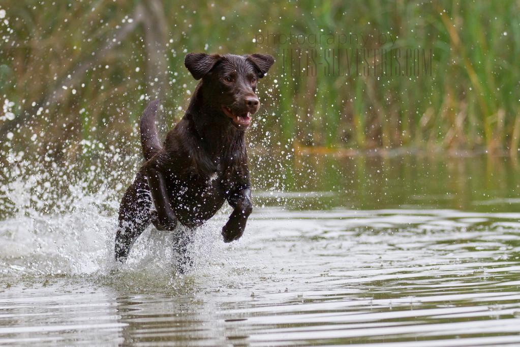 Choco Labrador Wasserarbeit