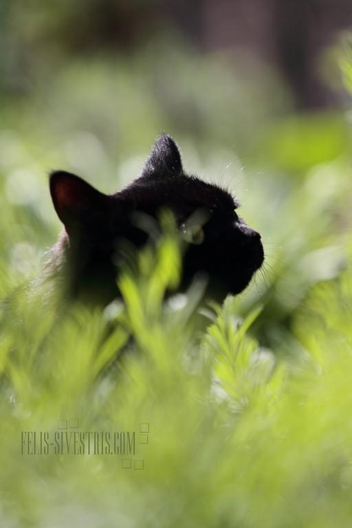 Kitty im Lavender
