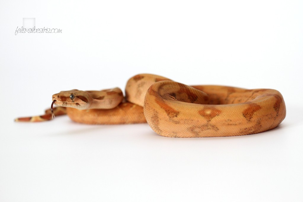 Boa imperator Panama/Orange Tail/Super Gee Line Hypo