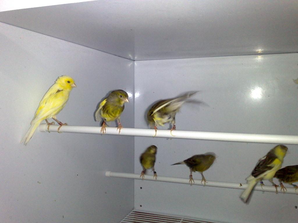 Hembras reproductoras recien incorporadas al jaulón voladero tras la dura temporada de cría.