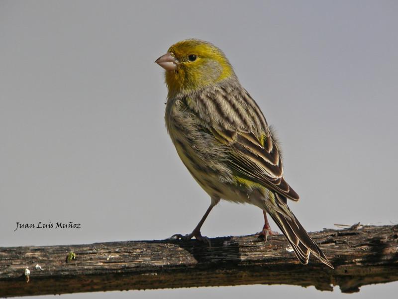 Autor Juan Luis Muñoz - http://www.pasoslargos.com/ornitologia - http://www.fotodigiscoping.info