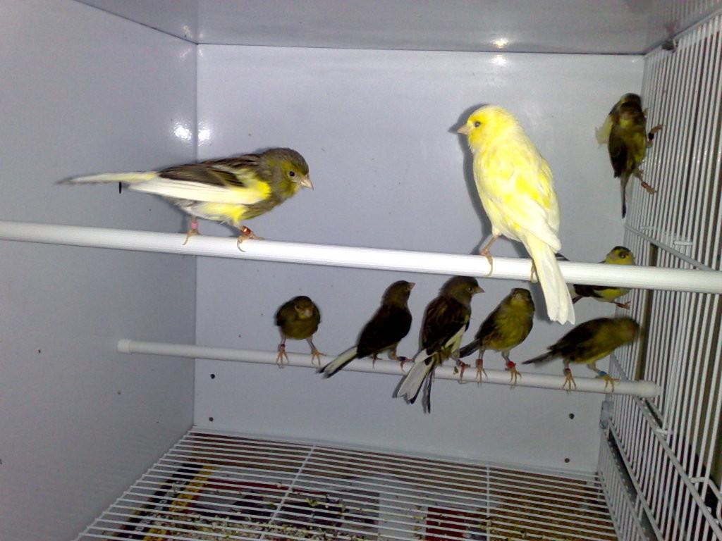 Otras vista de las hembras reproductoras recien incorporadas al jaulón voladero tras la dura temporada de cría.