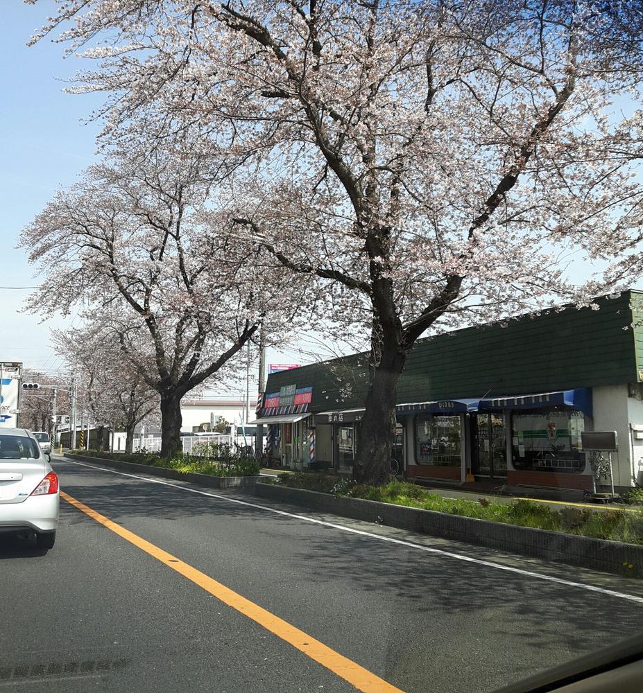 桜並木が本当に綺麗です!