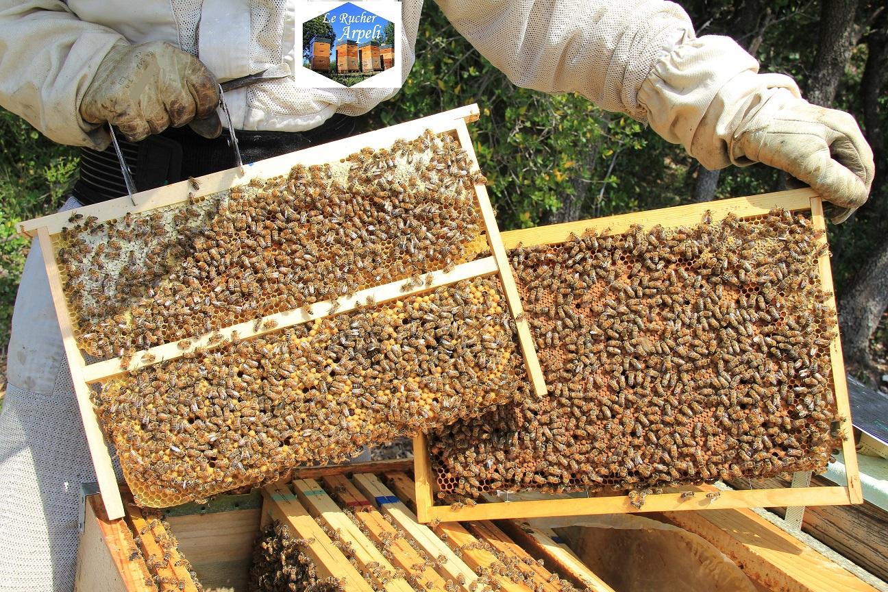 Cadre à mâles / cadre d'élevage Dadant utilisé en saison d'élevage