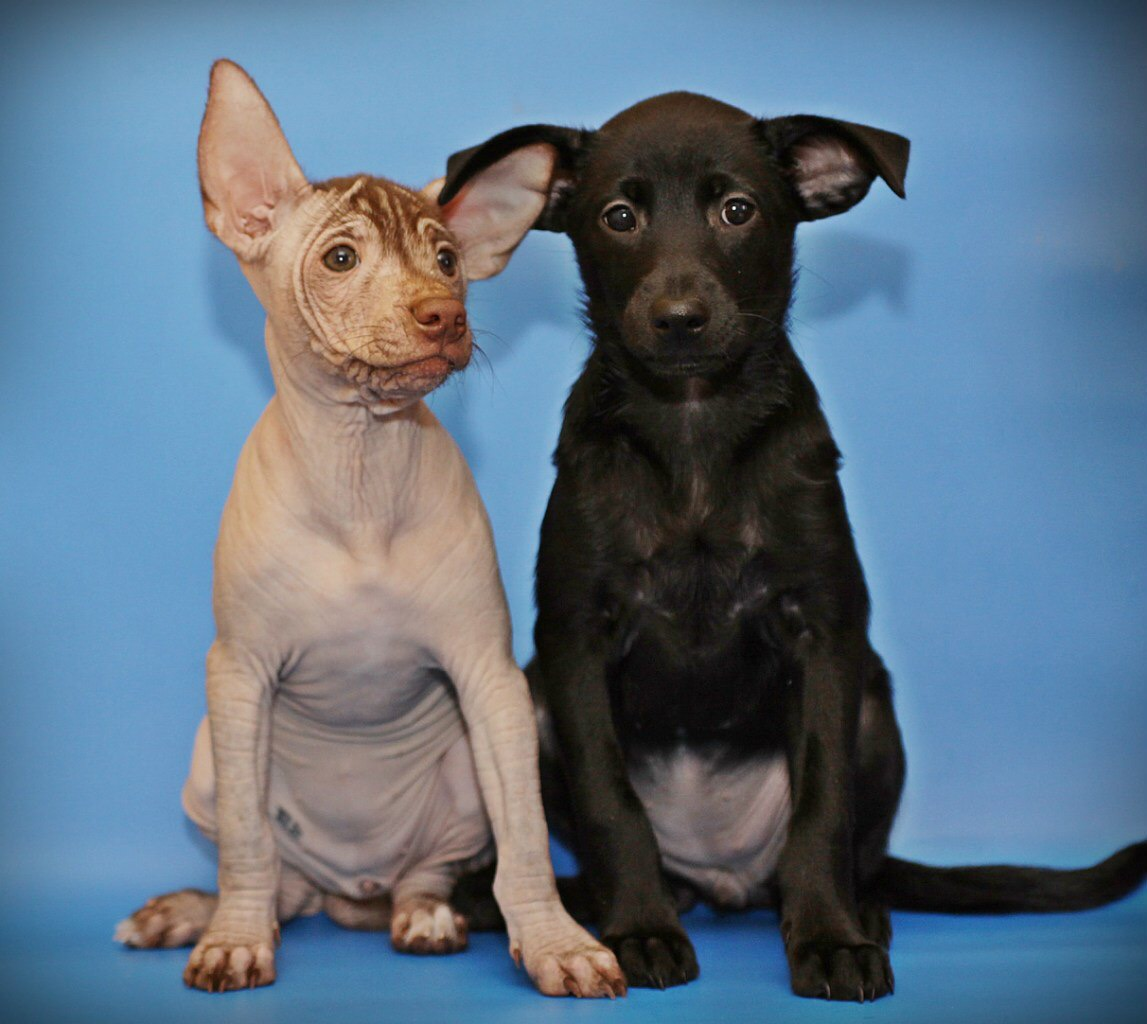 2 puppies of xolo (hairless and coated)