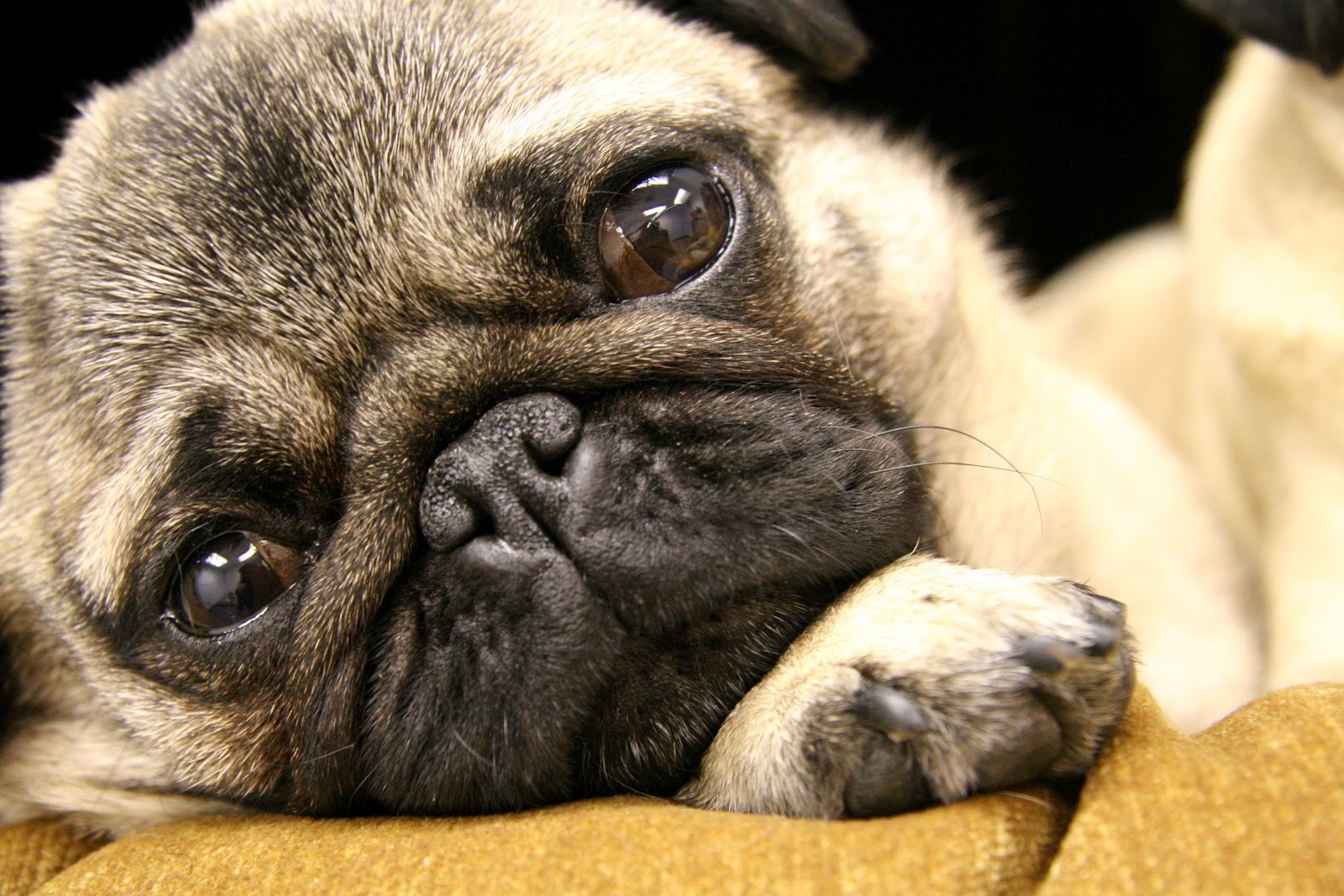Carlin, un chien dégoûtant - Le carlin