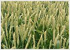 小麦 / 水上農園