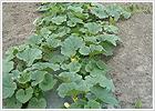 かぼちゃ、他野菜各種 / 水上農園
