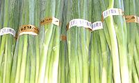 「ねぎうまいべや」の葱/水上農園