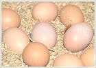 平飼い養鶏 / 水上農園