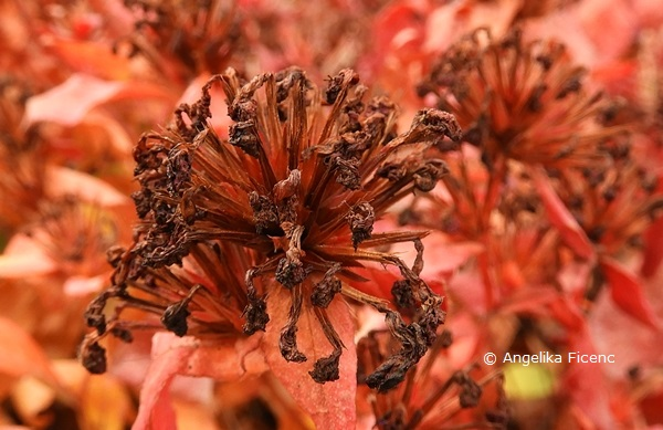 Ceratostigma plumbaginoides  © Mag. Angelika Ficenc