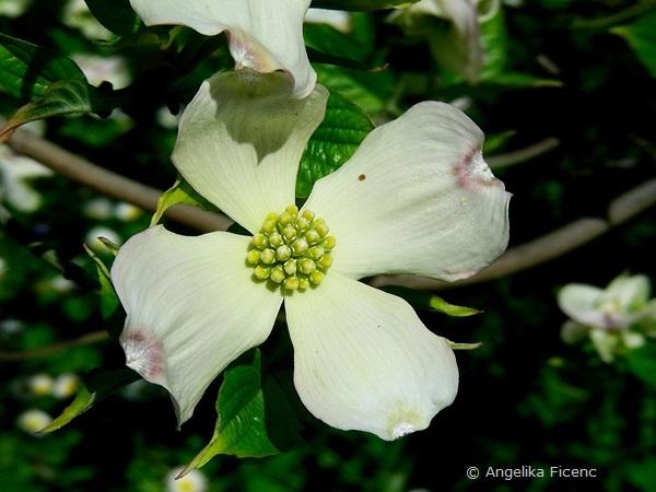 """Cornus florida """"Alba"""",     © Mag. Angelika Ficenc"""