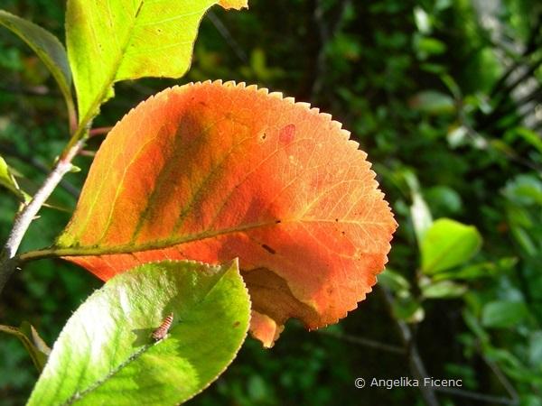 Aronia arbutifolia, Laubblatt Herbstfärbung