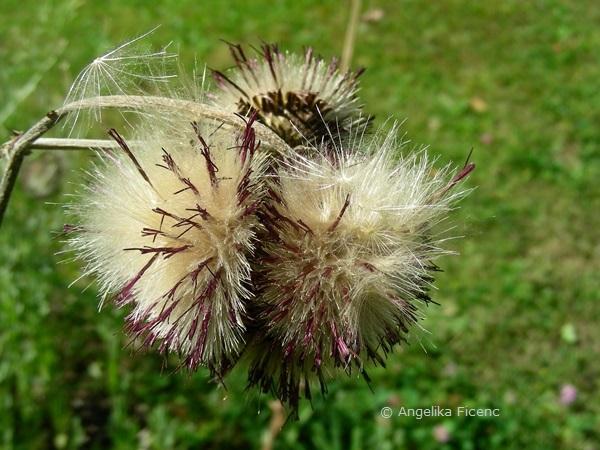 "Cirsium rivulare ""Atropurpureum"" - Bachkratzdistel, Samenstand  © Mag. Angelika Ficenc"