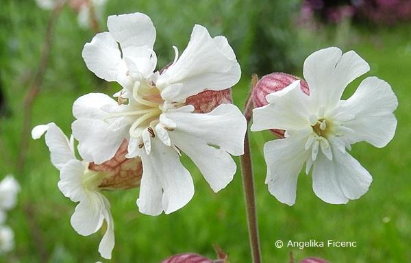Silene zawadskii - Leimkraut, Blüten