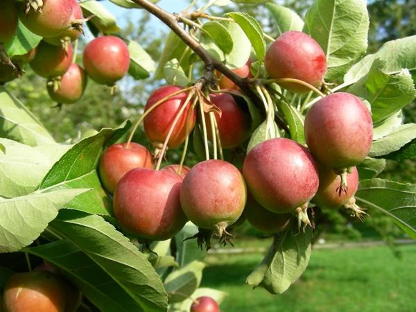 Malus sp. weiß - Apfel