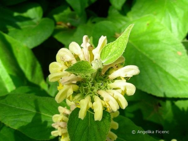 Phlomis russeliana, Scheinquirl in Aufsicht