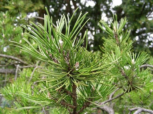 Pinus mugo - Berg Kiefer, Nadeln  © Mag. Angelika Ficenc