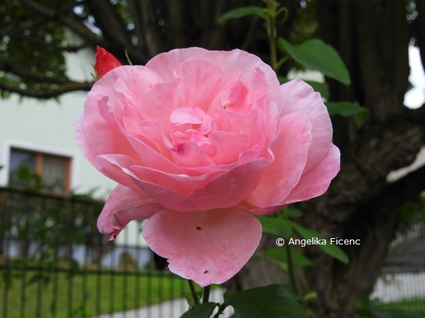 "Rose ""Queen Elisabeth""   © Mag. Angelika Ficenc"