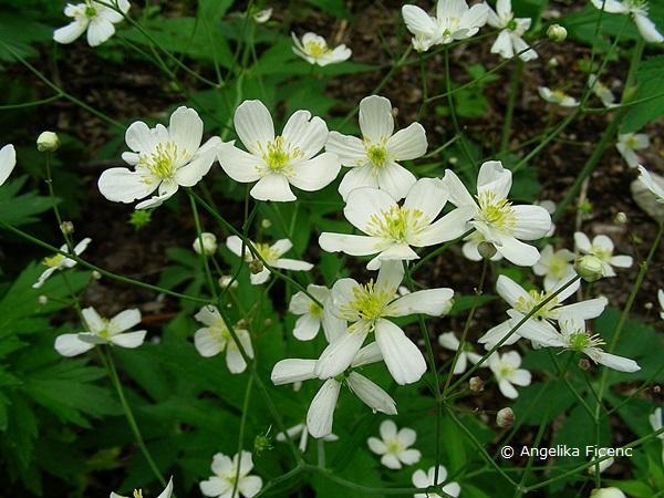 Ranunculus platanifolius - Platanen Hahnenfuß  © Mag. Angelika Ficenc