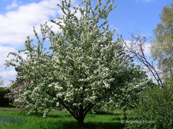 Malus baccata - Beerenapfel, Habitus