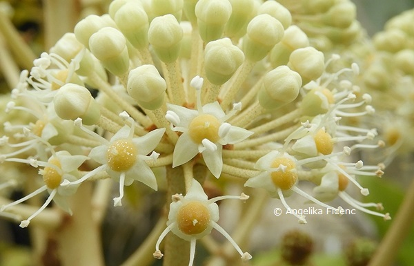 Fatsia japonica  © Mag. Angelika Ficenc