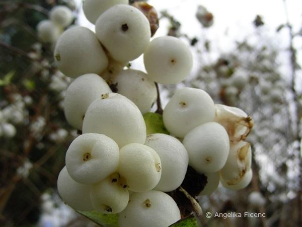 Symphoricarpos rivularis - Weiße Schneebeere, Früchte