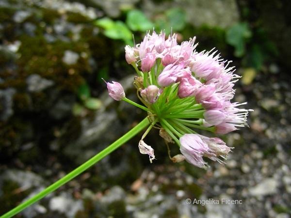 Allium lusitanicum - Berglauch    © Mag. Angelika Ficenc