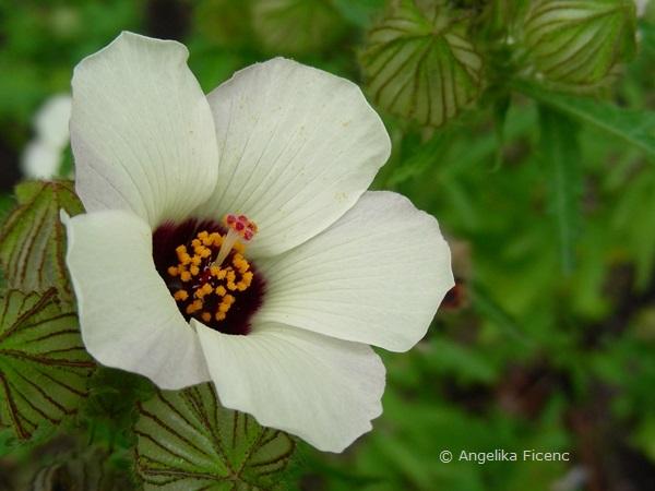Hibiscus trionum, Blüte