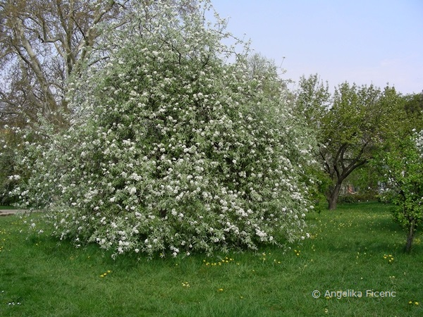 Pyrus salicifolia - Weidenbirne, Habitus