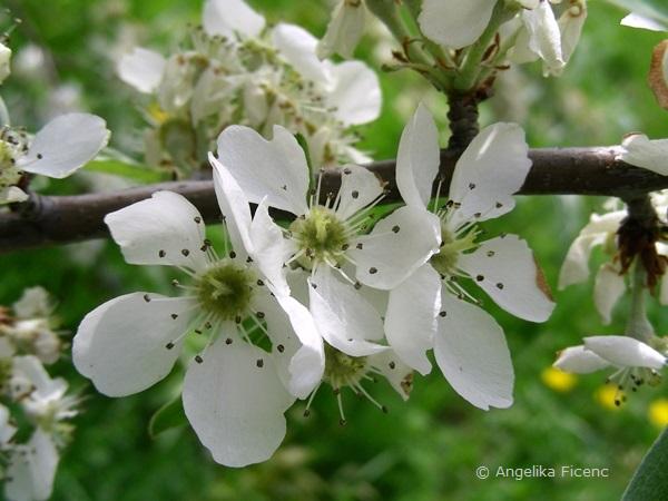 Pyrus salicifolia - Weidenbirne, Blüten
