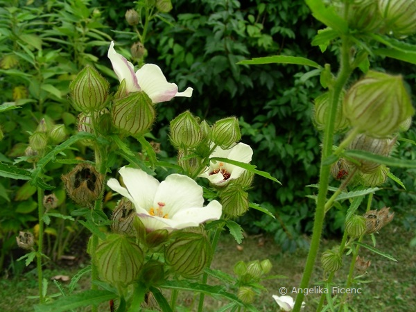Hibiscus trionum, Habitus