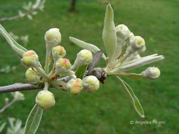 Pyrus salicifolia - Weidenbirne, Blütenknospen