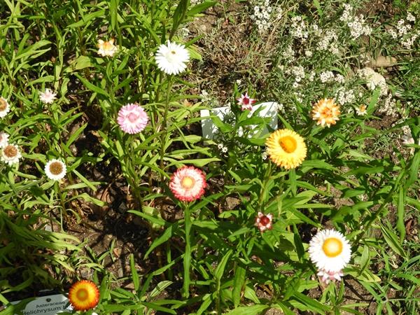 Helichrysum bellum © Mag. Angelika Ficenc